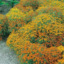 Mr Fothergill's Tagetes Starfire Mixed Seeds (150 Pack)