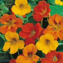 Mr Fothergill's Nasturtium Tom Thumb Seeds (35 Pack)