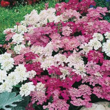 Mr Fothergill's Candytuft Fairy Mixed Seeds (500 Pack)