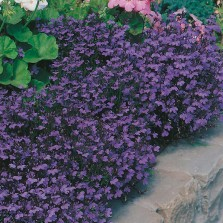 Mr Fothergill's Lobelia Crystal Palace Seeds (2500 Pack)