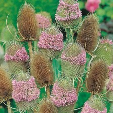 Mr Fothergill's Teasel Seeds (150 Pack)