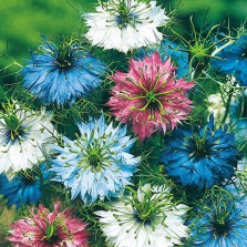 Mr Fothergill's Nigella Persian Jewels Seeds (500 Pack)