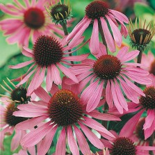 Mr Fothergill's Echinacea Large Flowered Purple Coneflower Seeds (50 Pack)