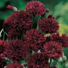 Mr Fothergill's Cornflower Black Ball Seeds (250 Pack)