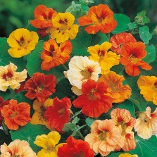 Mr Fothergill's Nasturtium Jewel Mixed Seeds (35 Pack)