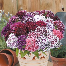 Mr Fothergill's Sweet William Electron Seeds (200 Pack)
