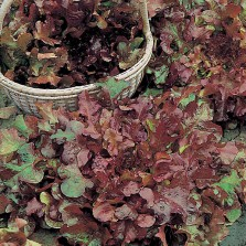 Mr Fothergill's Lettuce Salad Bowl Red (1250 Pack)