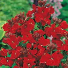 Mr Fothergill's Wallflower Scarlet Bedder (500 Pack)