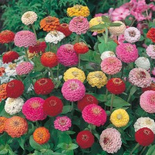 Mr Fothergill's Zinnia Sunbow Mixed Seeds (75 Pack)
