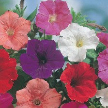 Mr Fothergill's Petunia Confetti Mixed F2 Seeds (750 Pack)