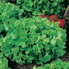 Mr Fothergill's Lettuce Salad Bowl (1250 Pack)