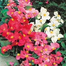 Mr Fothergill's Begonia Summer Rainbow F2 (2000 Pack)