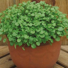 Mr Fothergill's Salas Leaves Cress American Land (1000 Pack)
