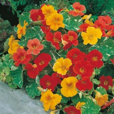 Mr Fothergill's Nasturtium Alaska Mixed Seeds (25 Pack)