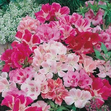 Mr Fothergill's Godetia Dwarf Mixed Seeds (1000 Pack)