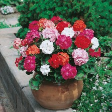 Mr Fothergill's Geranium Mr F's Mophead Selection Mixed F1 Seeds (10 Pack)