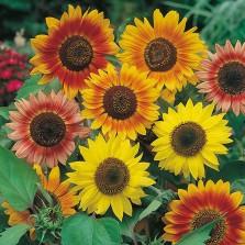 Mr Fothergill's Sunflower Sunburst Seeds (50 Pack)