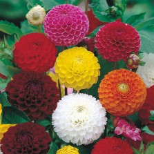 Mr Fothergill's Dahlia Pompon Mixed Seeds (50 Pack)
