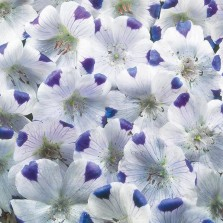 Mr Fothergill's Nemophila Five Spot Seeds (300 Pack)