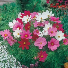 Mr Fothergill's Cosmos Dwarf Sonata Mixed Seeds