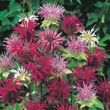 Mr Fothergill's Bergamot Panorama Mixed Seeds (75 Pack)