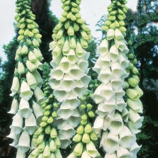 Mr Fothergill's Foxglove Alba Seeds (1000 Pack)
