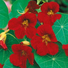 Mr Fothergill's Nasturtium Tip Top Velvet Seeds (25 Pack)