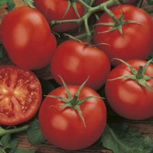 Mr Fothergill's Tomato (Standard) Moneymaker Seeds