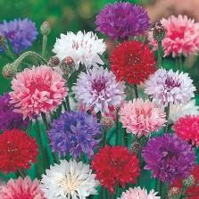 Mr Fothergill's Cornflower Polka Dot Seeds (500 Pack)