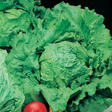 Mr Fothergill's Lettuce Webbs Wonderful (1250 Pack)