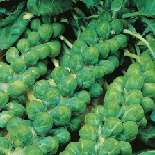 Mr Fothergill's Brussels Sprout Evesham Special Seeds (500 Pack)