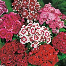 Mr Fothergill's Sweet William Monarch Mixed Seeds (500 Pack)
