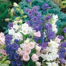 Mr Fothergill's Canterbury Bells Cup & Saucer Mixed Seeds (650 Pack)