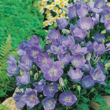 Mr Fothergill's Campanula Blue Seeds (1500 Pack)