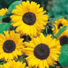 Mr Fothergill's Sunflower Hallo Seeds (30 Pack)