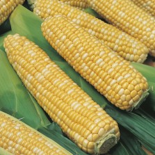 Mr Fothergill's Sweet Corn Ambrosia F1 Seeds (35 Pack)