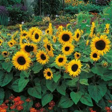 Mr Fothergill's Sunflower Little Dorrit F1 Seeds (25 Pack)