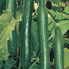 Mr Fothergill's Cucumber Telepathy F1 Seeds (10 Pack)