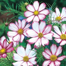 Mr Fothergill's Cosmos Candy Stripe Seeds
