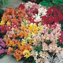 Mr Fothergill's Antirrhinum Seeds - Tom Thumb Mixed (1500 Pack)