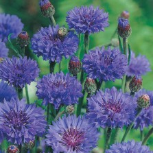 Mr Fothergill's Cornflower Blue Ball Seeds (250 Pack)