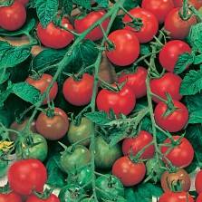Mr Fothergill's Tomato (Cherry) Gardener's Delight Seeds (50 Pack)