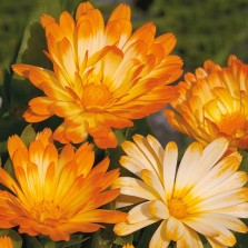 Mr Fothergill's Calendula Oopsy Daisy Seeds
