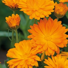 Mr Fothergill's Calendula Funky Stuff Seeds