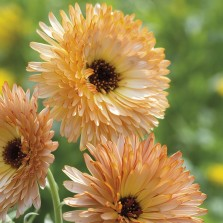 Mr Fothergill's Calendula Orange Flash Seeds (50 Pack)