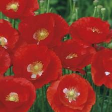 Mr Fothergill's Poppy American Legion Seeds (2000 Pack)