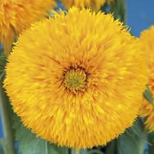 Mr Fothergill's Sunflower Sun King Seeds (20 Pack)