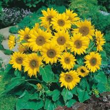 Mr Fothergill's Sunflower Little Leo Seeds (25 Pack)