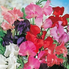 Mr Fothergill's Sweet Pea Tall Mixed Seeds (40 Pack)