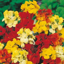 Mr Fothergill's Wallflower Dwarf Bedding Mixed Seeds (500 Pack)